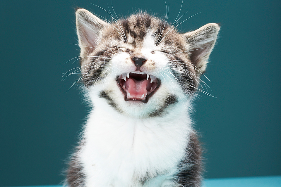 quiz which cute kitten will fill the hole in your heart tigerbeat