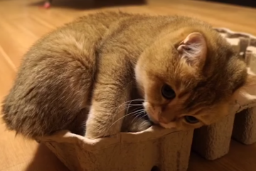 This Cat Trying To Fit Into A Box Is The Cutest!