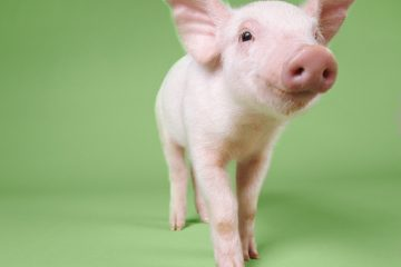 You Have to See This Piglet in a Wheelchair!