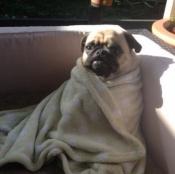 Pug Wrap